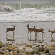Deer On Beach Poster