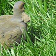 Deformed Dove Poster
