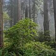 Del Norte Redwoods Poster