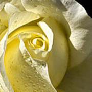 Delightful Yellow Rose With Dew Poster