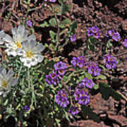 Desert Chicory And Heliotrope Poster