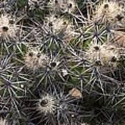 Devil's Club Cactus (gousonia Invicta) Poster