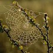 Dew Highlights An Orb-weaver Spiders Poster