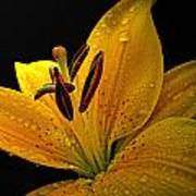 Dew On The Daylily Poster