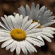 Dew Tell Oxeye Daisy Wildflowers Poster