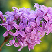 Dewdrops On Lilacs Poster