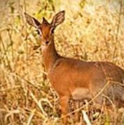 Dik-dik Antelope Poster