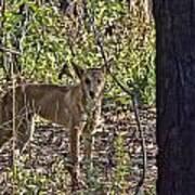Dingo In The Wild V3 Poster