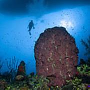 Diver And Barrel Sponge, Belize Poster
