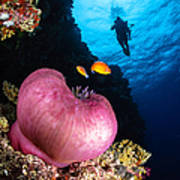 Diver And Magnificent Anemone, Fiji Poster