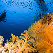 Diver Hovering Over Soft Coral Reef Poster
