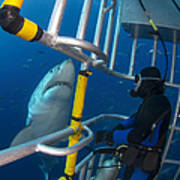 Diver Observes A Male Great White Shark Poster