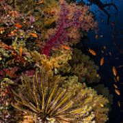 Diver Swims By Soft Corals And Crinoid Poster