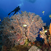 Diver Swims Over Sea Fans, Indonesia Poster