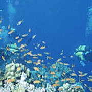 Divers Enjoy The Beauty Of The Reefs Poster
