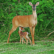 Doe And Nursing Fawn Poster