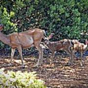 Doe And Twin Fawns Poster
