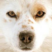 Dog Eyes Poster