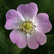 Dog Rose (rosa Canina) Poster