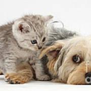 Dog Surrendering To Kitten Poster