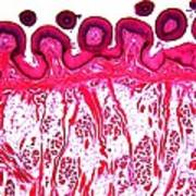 Dog Tongue Tissue, Light Micrograph Poster by Dr Keith Wheeler