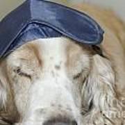Dog With Sleep Mask Poster