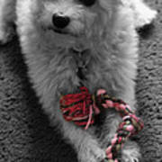Dog With Tug Toy Soft Focus Poster
