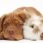 Dogue De Bordeaux Puppy With Bunny Poster