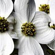 Dogwood Blossom Poster