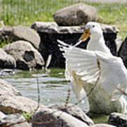Doin The Duck Splash Poster