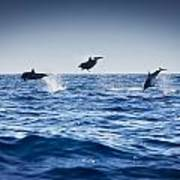 Dolphins Playing In The Ocean Poster