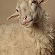Domestic Sheep Poster