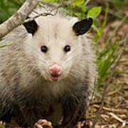 Don't Mess With Me Opossum Poster