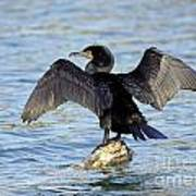 Double Crested Cormorant Wings Spread Poster