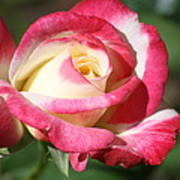 Double Delight Rose Poster