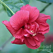 Double Hibiscus Poster