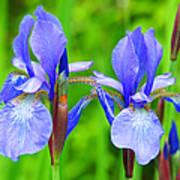 Double Iris Poster