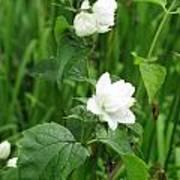 Double Jasmine In Bloom Poster