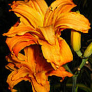 Double Orange Daylilies Poster