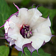 Double Purple Datura Poster