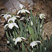 Double Snowdrops Squared Poster