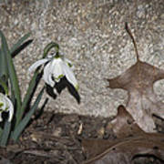Double Snowdrops Poster