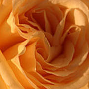 Double Yellow Rose Poster