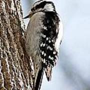 Downy Woodpecker 4 Poster