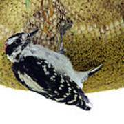 Downy Woodpecker On Sunflower Poster