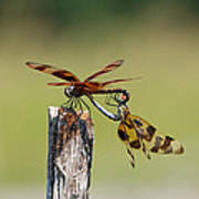 Dragon Fly Love Poster