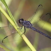 Dragonfly - Little Boy Blue Poster