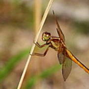 Dragonfly Looking At You Poster