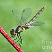 Dragonfly On A String Poster