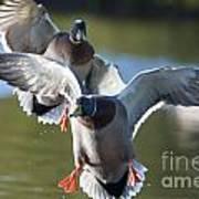 Dramatic Ducks Poster